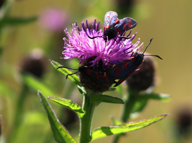3 x six spot burnet moths