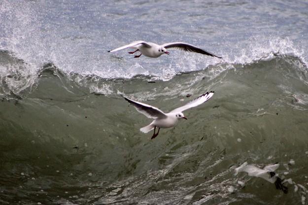 Blackheaded gull2