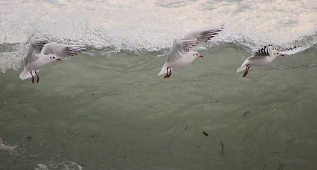 Blackheaded gull3