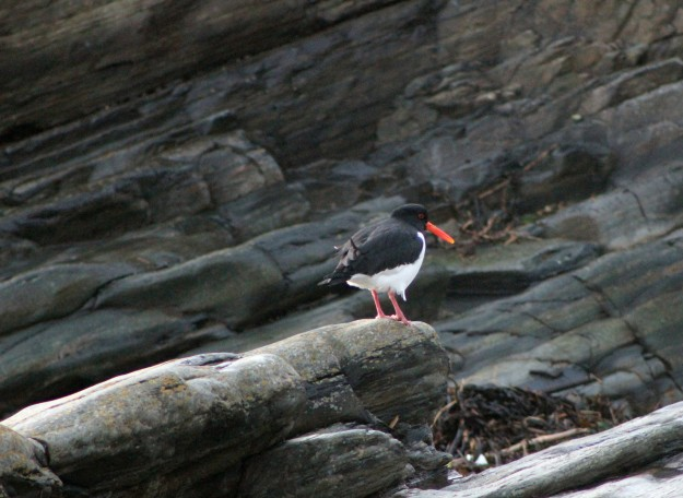 Oyster Catcher 4