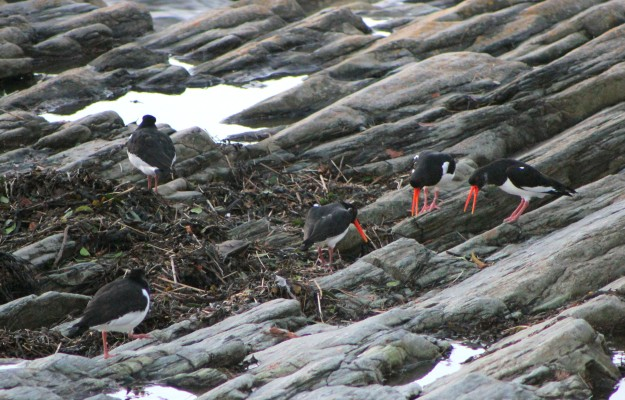 Oyster Catcher5
