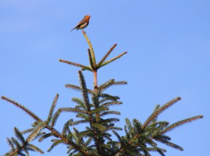 Robin fir tree 1