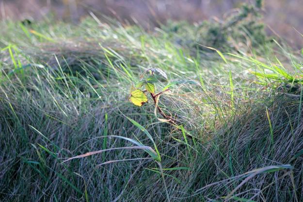 Ballannette grass