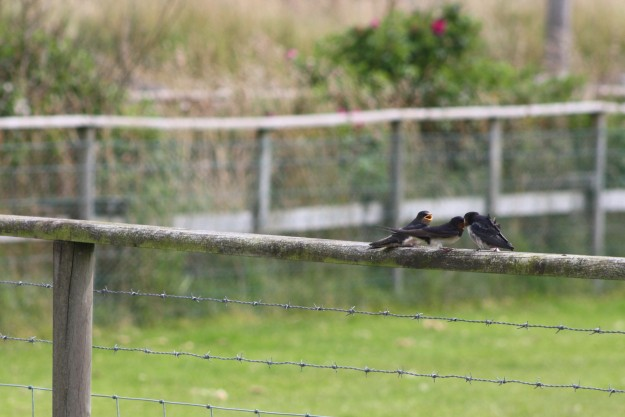 Swallows2