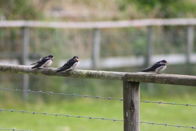 Swallows3
