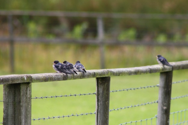 Swallows4