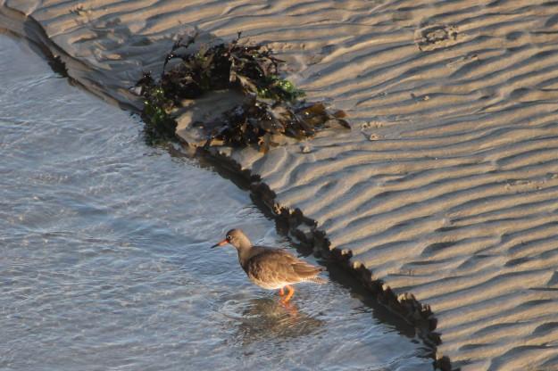 Douglas beach bird