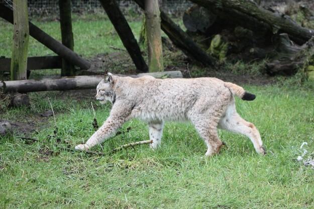 Lynx1