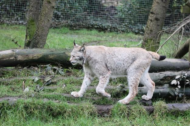 Lynx3