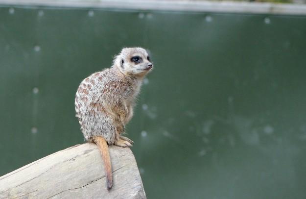 Meerkat4
