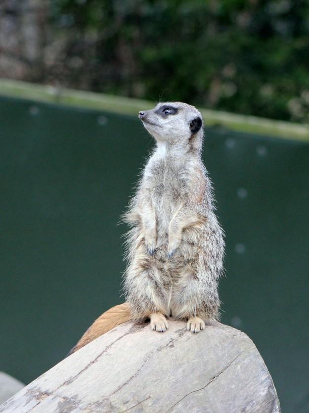 Meerkat8