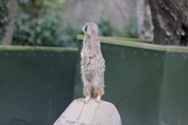Meerkat9