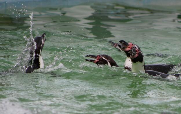 Penguins9
