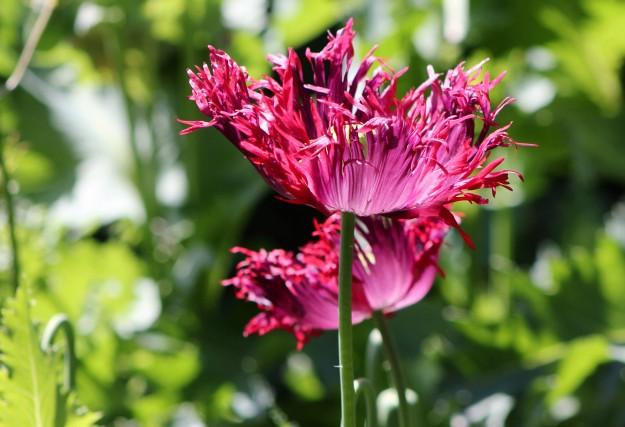 Crinkled poppies1