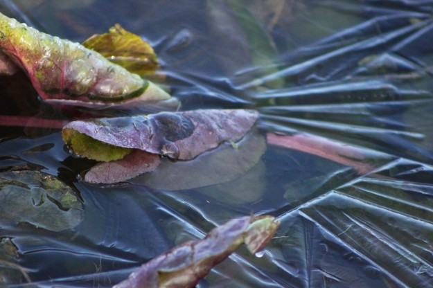 Frozen lily pad