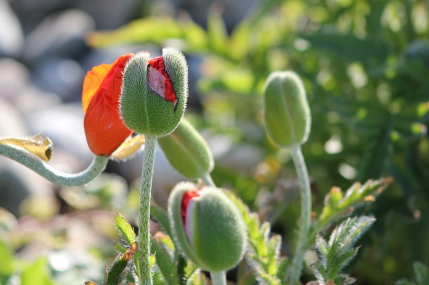 Emerging poppies