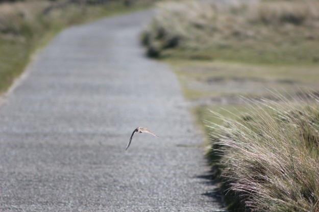 Skylark larking