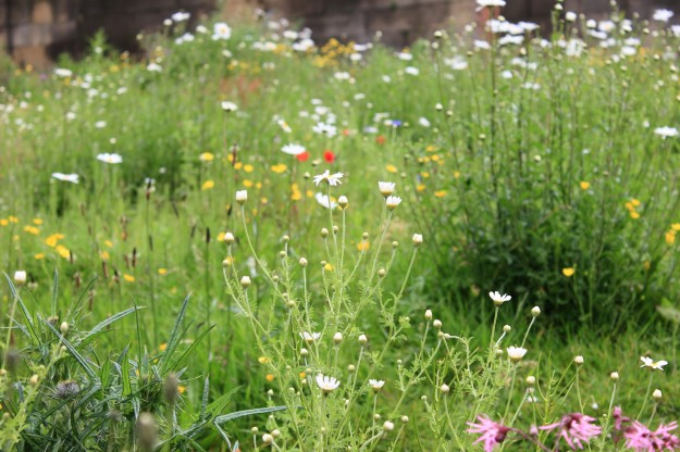 City wildflower meadow2