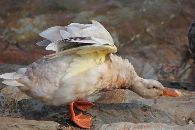 Duck down 2