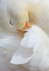 Duck down