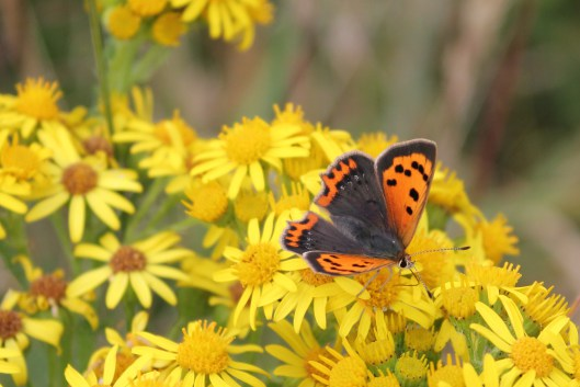 small-copper-11